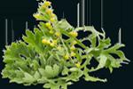 Artemisia absinthium flower/leaf/stem water - Wermutkraut