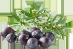 Wacholder - Juniperus Communis Fruit Extract