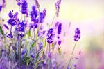 Lavendelwasser - Lavendula Officinalis Flower Water
