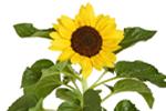 Sonnenblumenöl - Helianthus Annuus (sunflower) Seed Oil