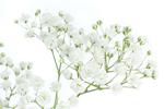 Schleierkraut - Gypsophila Paniculata Root Extract