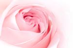 Rosenwasser (Portlandrose) - rosa damascena flower water