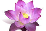 Lotusblume - Nymphaea Lotus Flower Extract