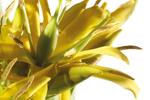 gelber Enzian - Gentiana Lutea Root Extract