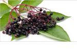 Holunderkernöl - Sambucus Nigra Seed Oil