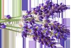 Lavendel - Lavandula Angustifolia Flower Extract