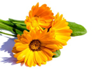 Ringelblume - Calendula Officinalis Flower Extract