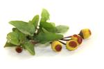 Parakresse Extrakt - Spilanthes Acmella Extract
