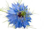 Schwarzkümmelöl - Nigella Sativa Seed Oil
