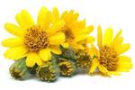 Arnika - Arnica Montana Flower Extract